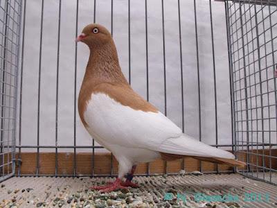 yellow tumbler pigeons