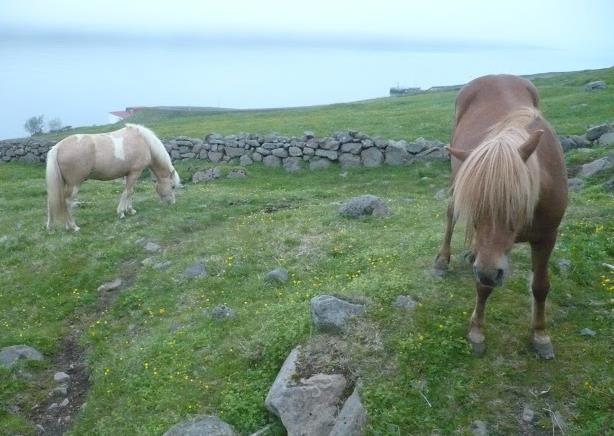 cavalli a Dalatangi