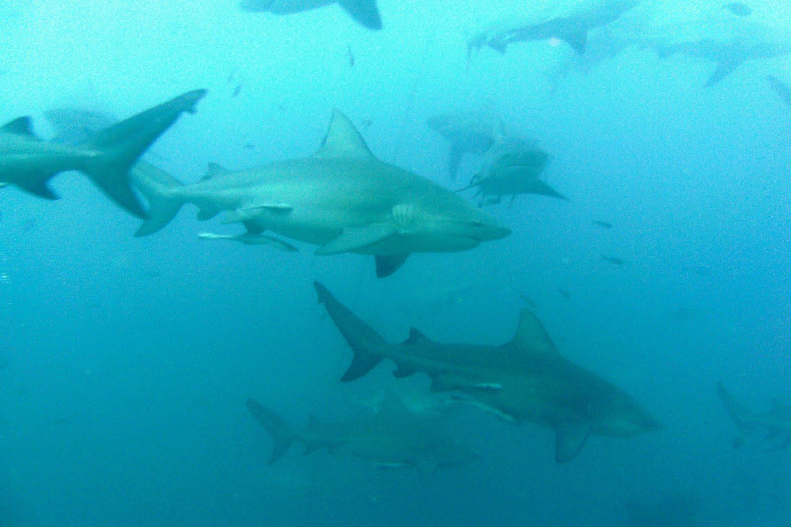 Big Fishes of the World: SHARK BULL (Carcharinus leucas) |Worlds Largest Bull Shark
