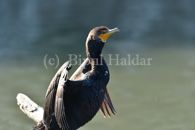 Cormorant Drying in the Sun