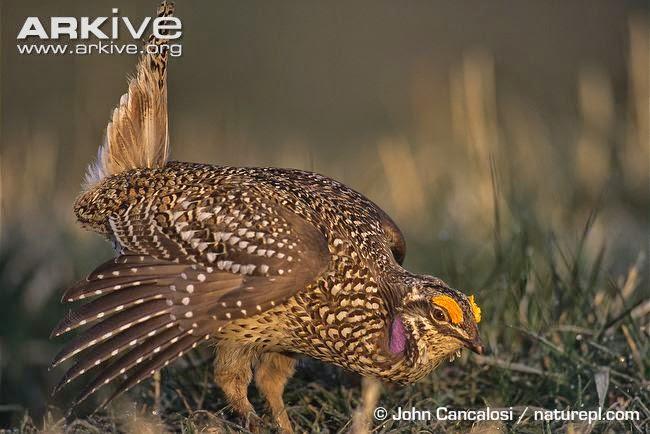 Gallo de las praderas rabudo: Tympanuchus phasianellus