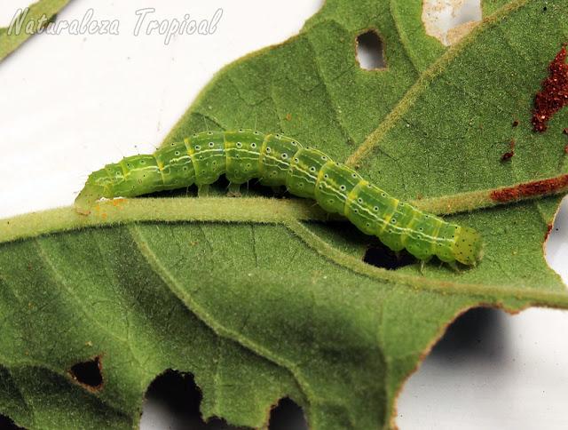 Oruga de la polilla (Alabama argillacea) más dañina que ataca las plantaciones de algodón (género: Gossypium) y provoca pérdida de millones de dólares