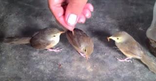 Burung Ciblek - Kumpulan Jenis Burung Ciblek Paling Lengkap Di Indonesia -  Penangkaran Burung Ciblek