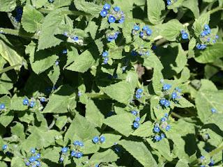 Buglosse toujours verte - Pentaglottis sempervirens