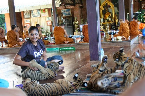 Tiger Temple- Thailand