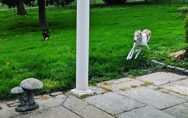image of Dudley the Greyhound and Zelda the Black and Tan Mutt racing across the backyard toward me