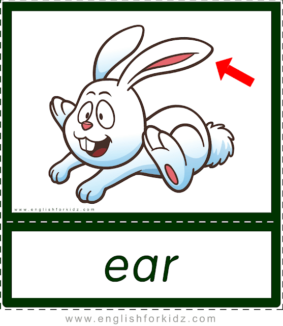 Ear (rabbit) - printable animal body parts flashcards for English learners