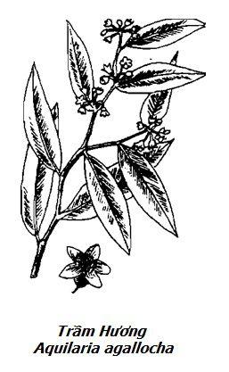 Hình vẽ cây Trầm Hương - Aquilaria agallocha - Nguyên liệu làm thuốc Chữa Đi Lỏng-Đau Bụng