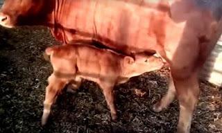 """معهد إسرائيلي يزعم قرب نهاية العالم ويستشهد بولادة """"البقرة الحمراء"""""""