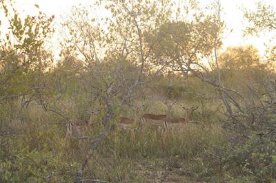 Impalas, Parque Kruger, Sudáfrica