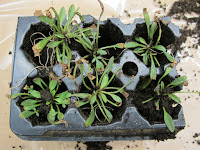 Portion of plug flat of Dickeya-infected Coreopsis plants with necrotic leaf tips.