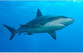 Ikan Hias Air Laut sharks
