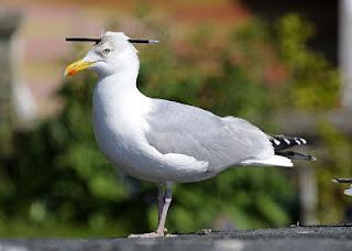 Fakta-Fakta Menarik Tentang Burung Camar