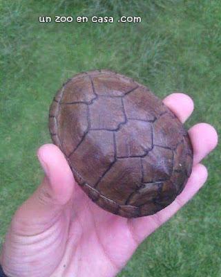 Kinosternon hirtipes - La tortuga de pantano de patas rugosas