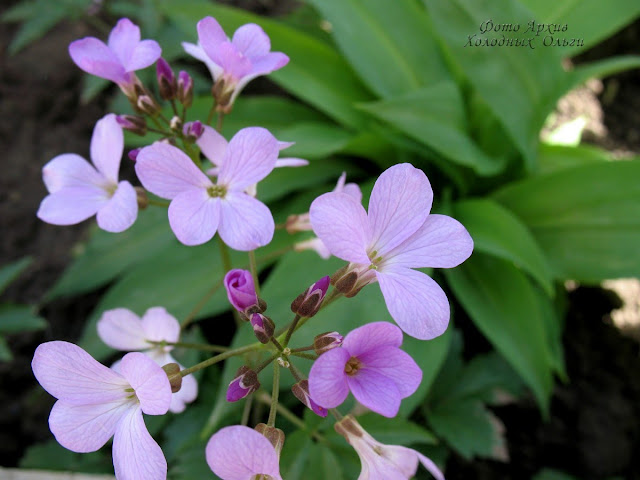 Сиреневые цветочки