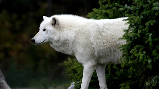 Arctic Wolf HD Wallpapers for Desktop 1080p free download