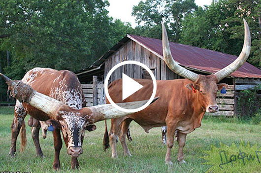 Amazing Smart Cows | Watch This Video ~ Tanyas Blog