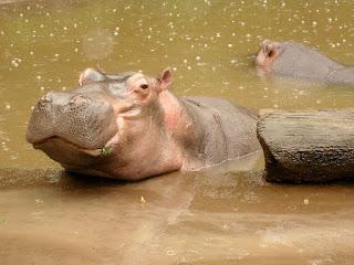 Kuda Nil - Taman Safari Bogor