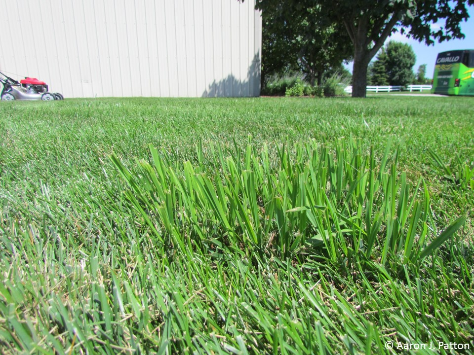 Identification of tall mature lawn grass