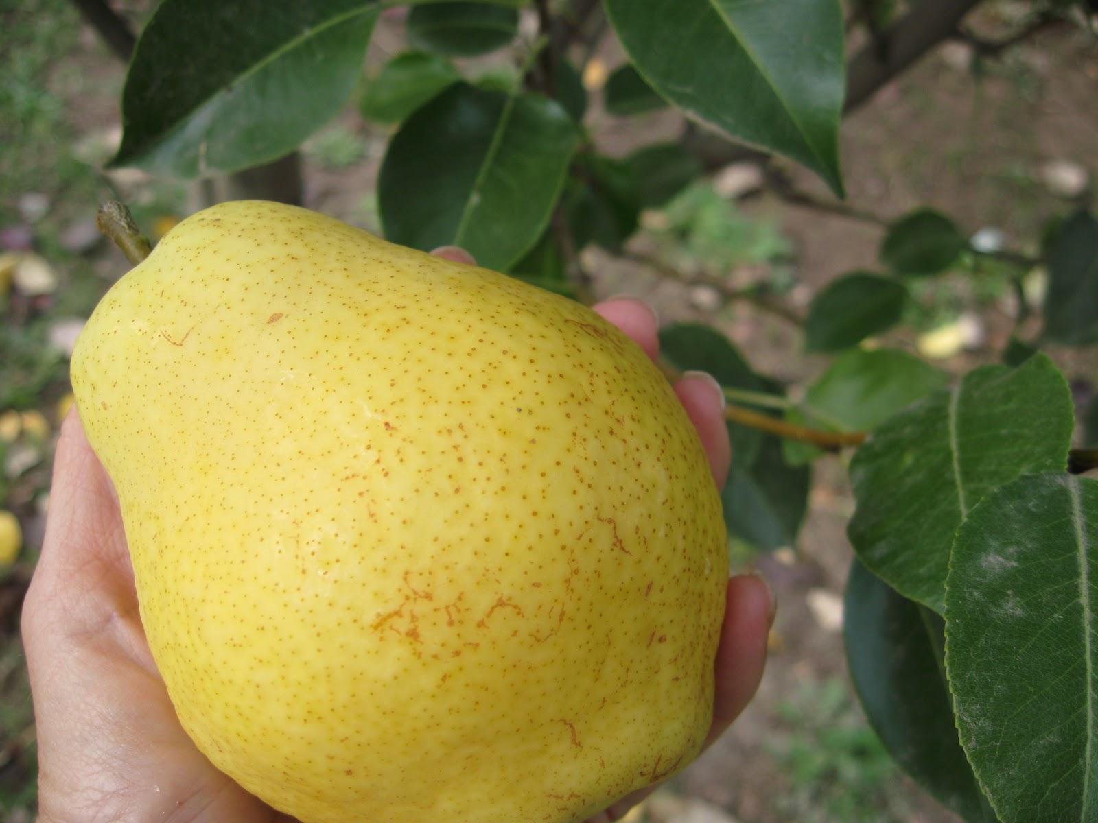 When Pick Kieffer Pears