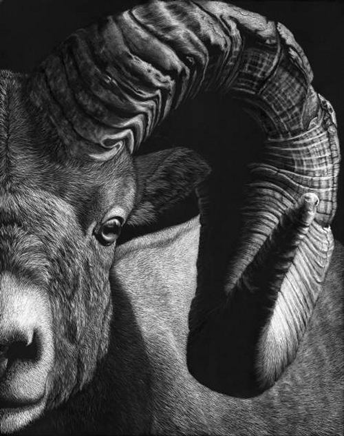 11-Bighorn-Ram-Lorna-Hannett-Animals-Drawings-Scratched-out-of-Ink-with-the-Scratchboard-www-designstack-co