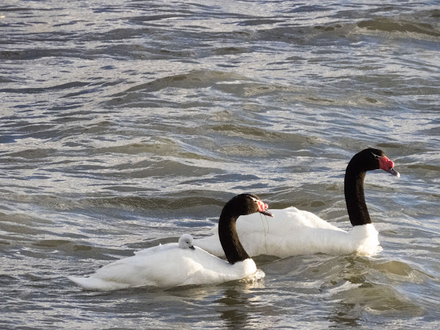 Birds of Patagonia: Pair of black-necked swans with chick