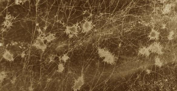 Gambar 10: jamur hifa miselium di Bumi yang mendapat cukup air.