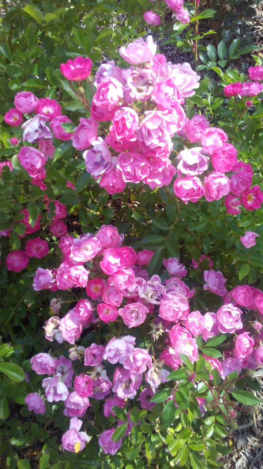 Jane Celia Hatch Bethesda Star Bethesda Star Flower Essences