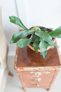 Staghorn Fern on Vintage Drawers