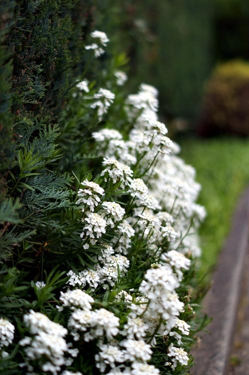 weiße Blühpflanze unter der Koniferenhecke { by it's me! }