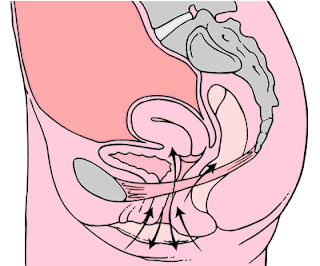 Pelvic floor muscles that contract during kegels