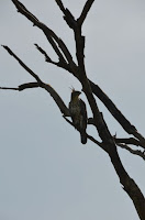 Haubenadler - Crested hawk eagle