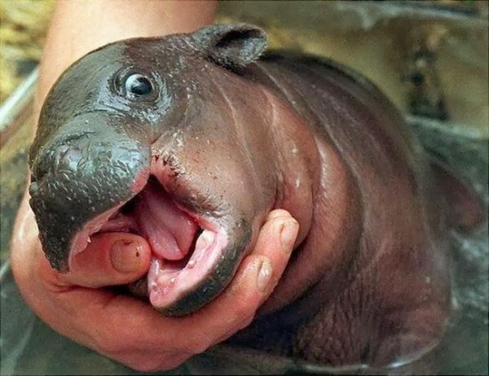 Funny animals of the week - 21 February 2014 (40 pics), cute baby hippo picture