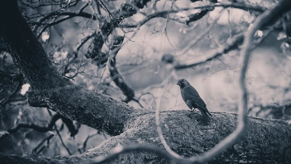 Crow on Branch