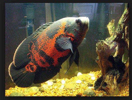Ikan Hias Termahal -Ikan Ocar