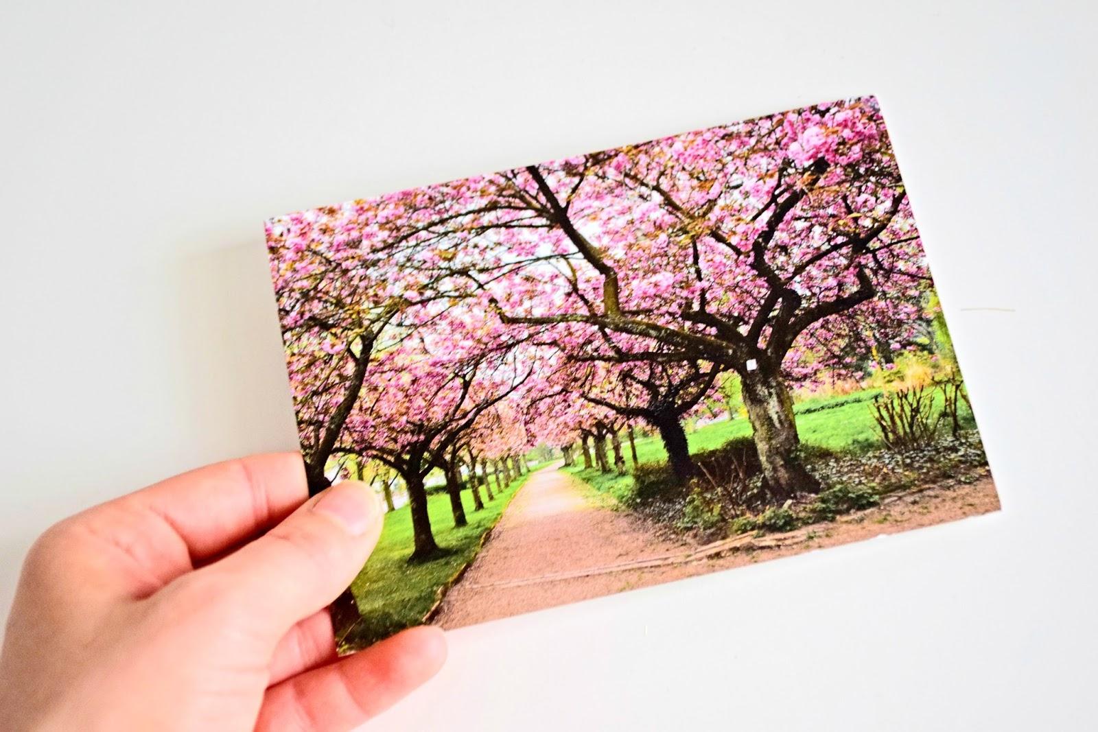 zdjęcie kwitnących wiśni