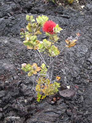 ohi'a lehua, Metrosideros polymorpha, growing on new lava