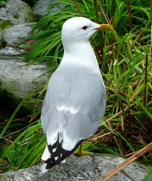 Indian birds - Image of Mew gull - Larus canus