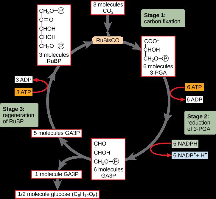 Fotosintesis tumbuhan c3 c4 dan cam info pendidikan dan biologi siklus calvin tumbuhan c3 ccuart Images