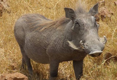 Warthog - animal beginning with letter w