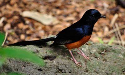 Merawat burung murai kerikil muda hutan
