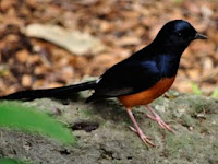 Merawat Burung Murai Batu Muda Hutan
