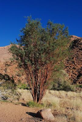 Acacia montis-ustii