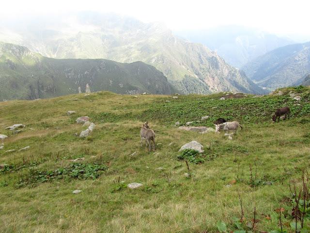 Asini pascolano sulle alpi Val Strona