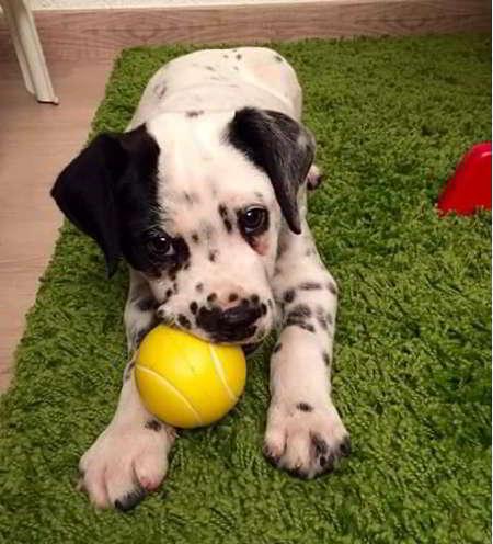 cachorro cruce de dálmata