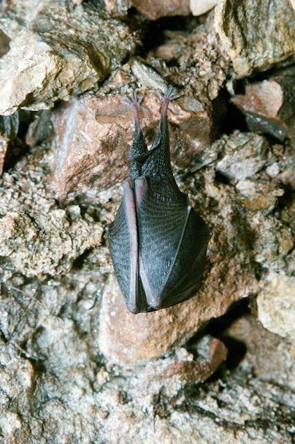 A lesser horseshoe bat photo copyright Devon Wildlife Trust