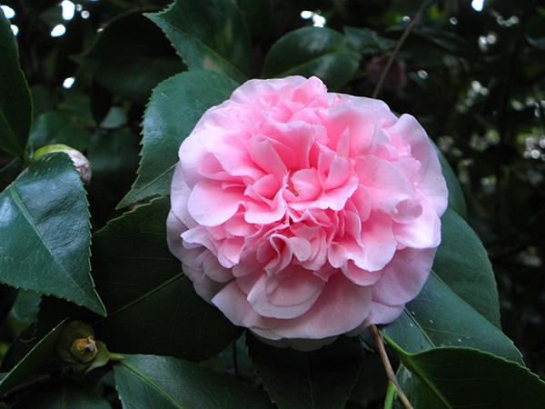 Full-blown camellia blossom