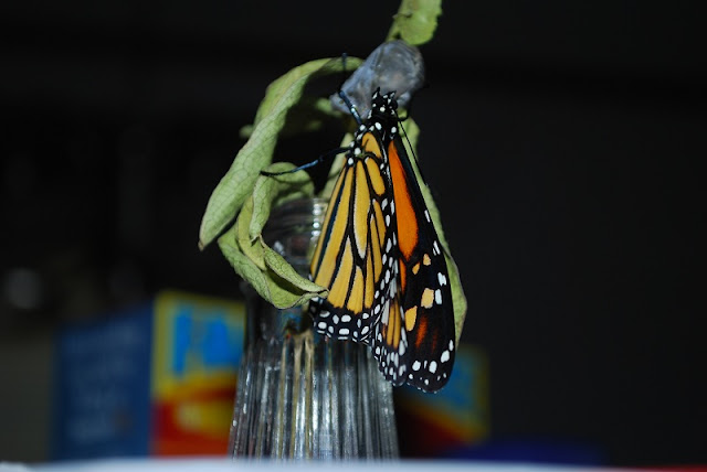 What a fun learning experience it was to watch these monarch caterpillars change into butterflies.