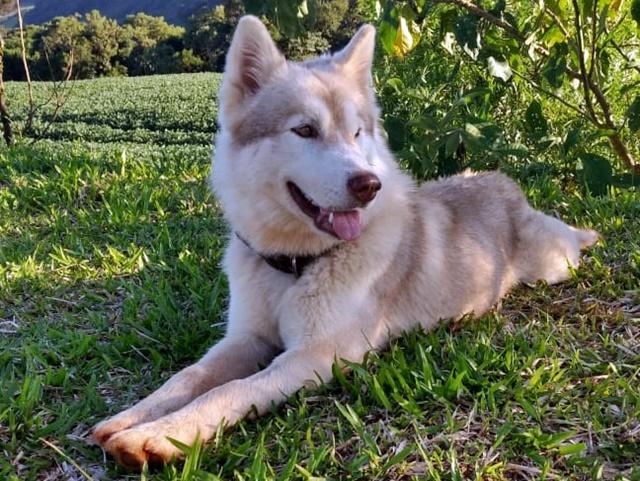 Roncador: Procura-se cachorra desaparecida, raça Husky Siberiano