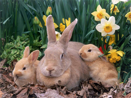 Palomino Rabbits wallpapers